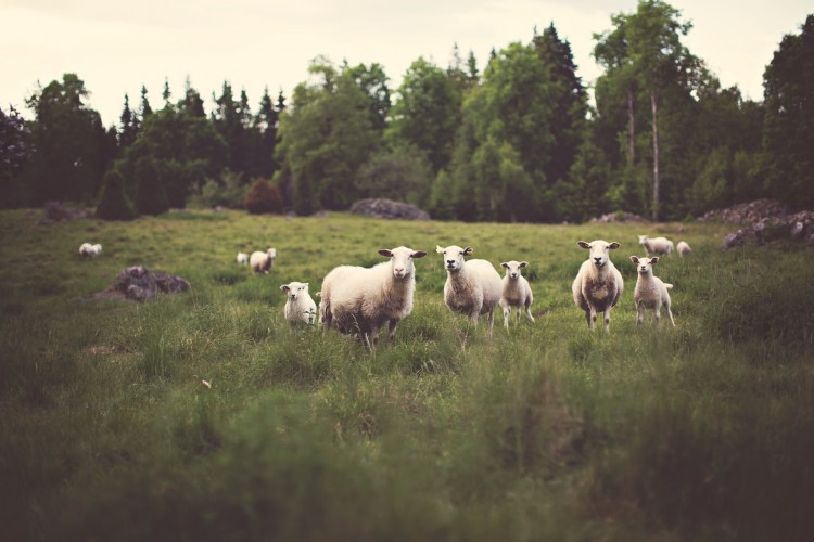 Sei ein Schaf